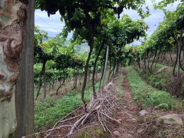 Vista dos vinhedos, em direção ao Vale