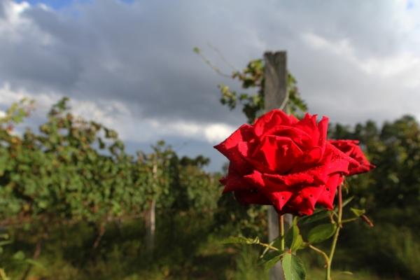 Nano vinícola: produção de 30 mil garrafas e atenção aos detalhes