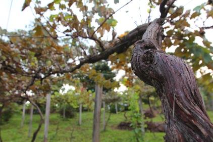 Vinhas de Isabel nonagenárias são um dos atrativos da propriedade.