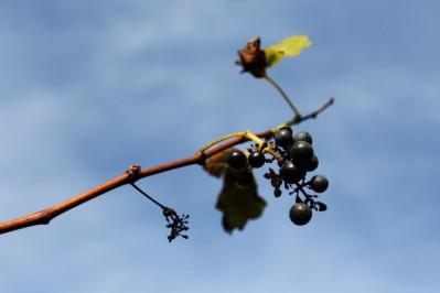 Uvas que ficaram além da estação contra o azul do céu. (foto: Gabriela Di Bella)