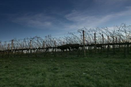 Para fechar o texto: atrás das vinhas, o gado corre solto e assinala a tipicidade dos Pampas. (foto: Gabriela Di Bella)