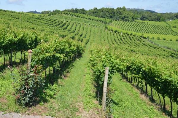 Vinhas gaúchas